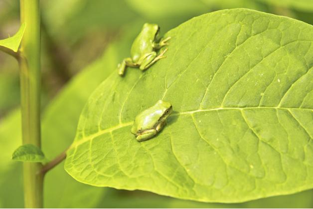 日本で小さい黒いカエルは、1cm以下 ...